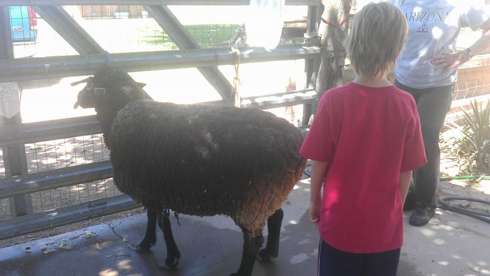 Laveen Pathfinders 4-H Club offers members experience like sheep shearing.